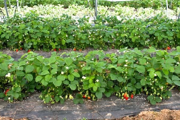 Production de fraises en Dordogne-Périgord
