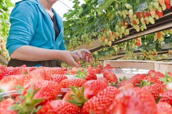 culture de la fraise avec de nombreuses variétés