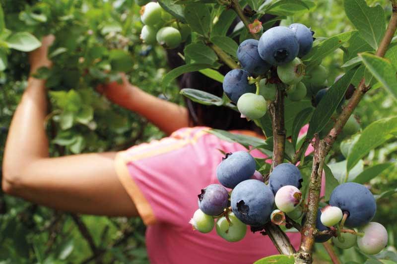 Production de myrtilles et petits fruits en Dordogne-Périgord