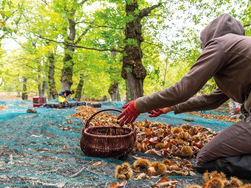Ramassage de marrons et châtaignes label rouge en Dordogne-Périgord