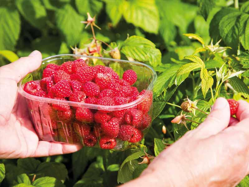 Producteur de framboises et petits fruits rouges en Dordogne-Périgord