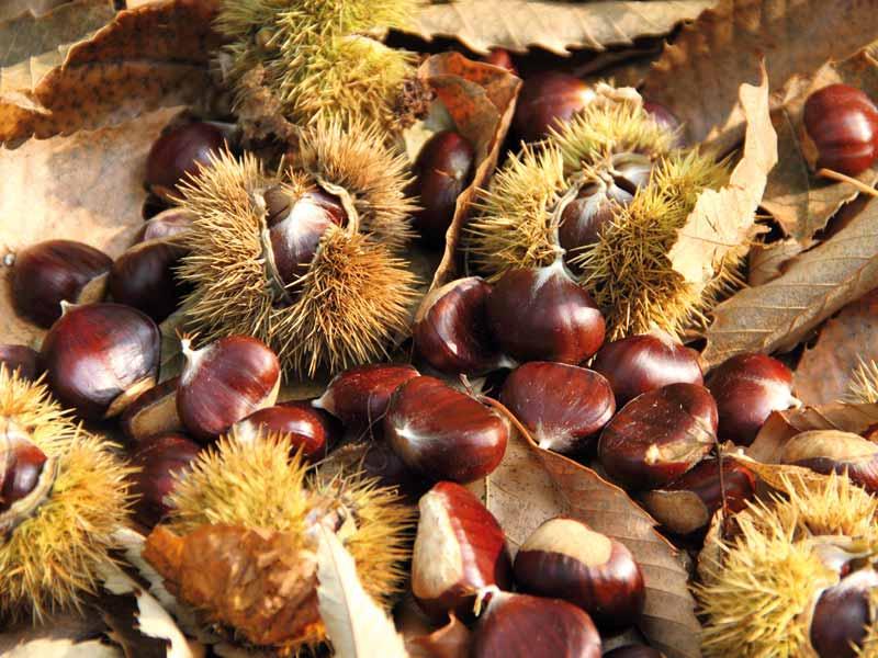 L'automne, saison des marrons et châtaignes label rouge en Dordogne-Périgord