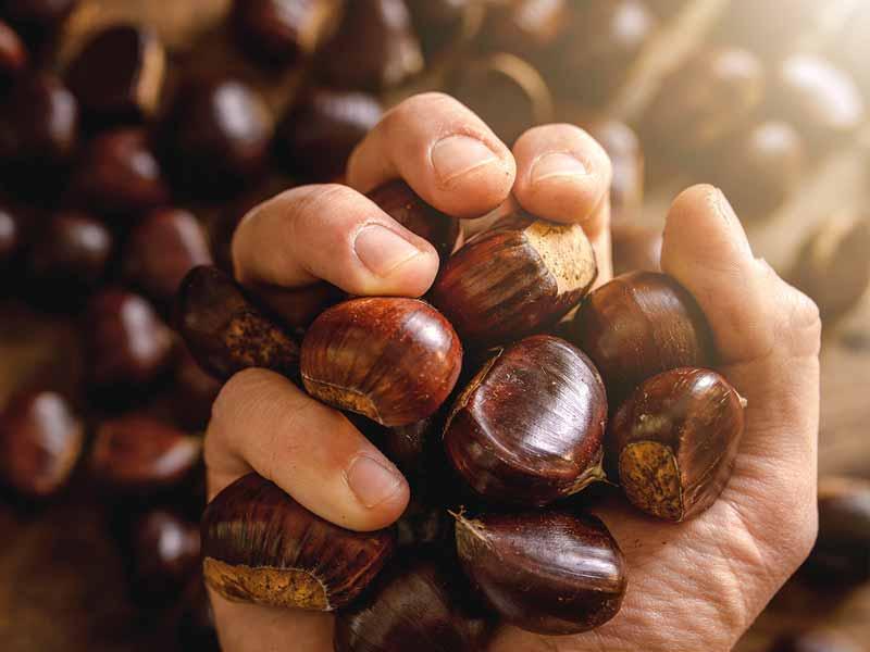 Marrons et châtaignes label rouge en Dordogne-Périgord