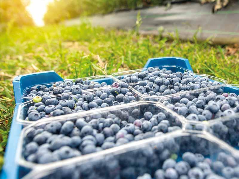 Producteur de myrtilles et petits fruits rouges en Dordogne-Périgord