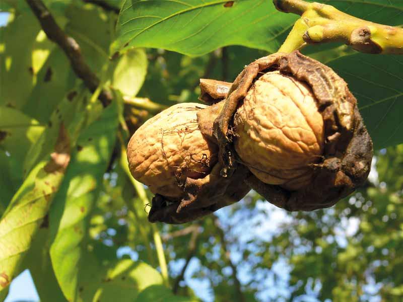Producteur de noix en Dordogne-Périgord